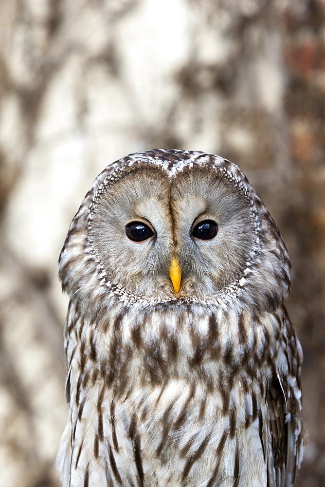 Portrait of Ural Owl, Sologne France