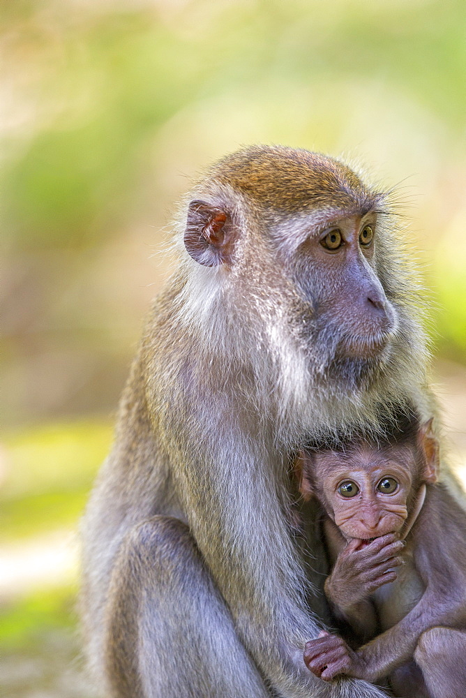 Long-tailed macaque and young in forest, Bako Malaysia