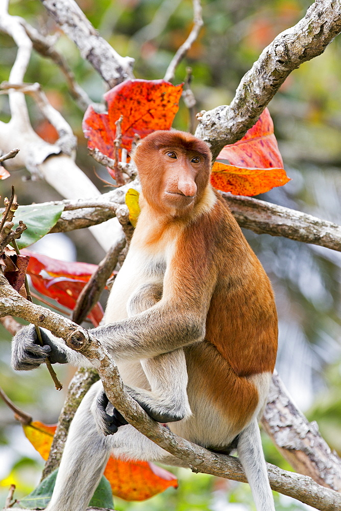 Proboscis monkey on a branch in forest, Malaysia Bako
