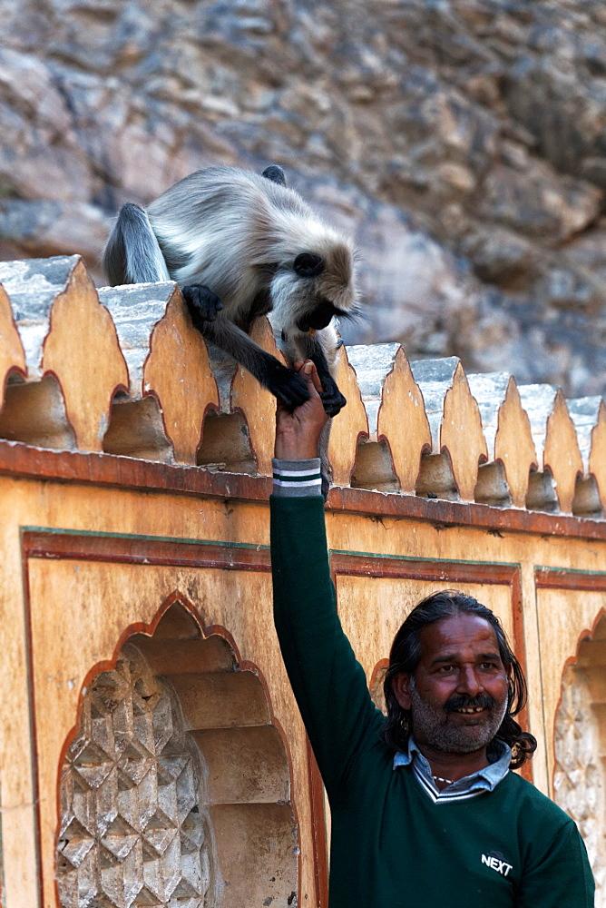 Hanuman Langur amputee and man, Galta Temple Rajasthan