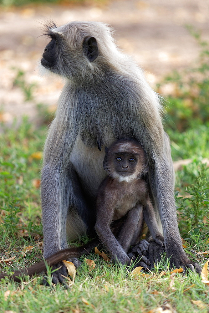Hanuman Langur and young on grass, Rajasthan India