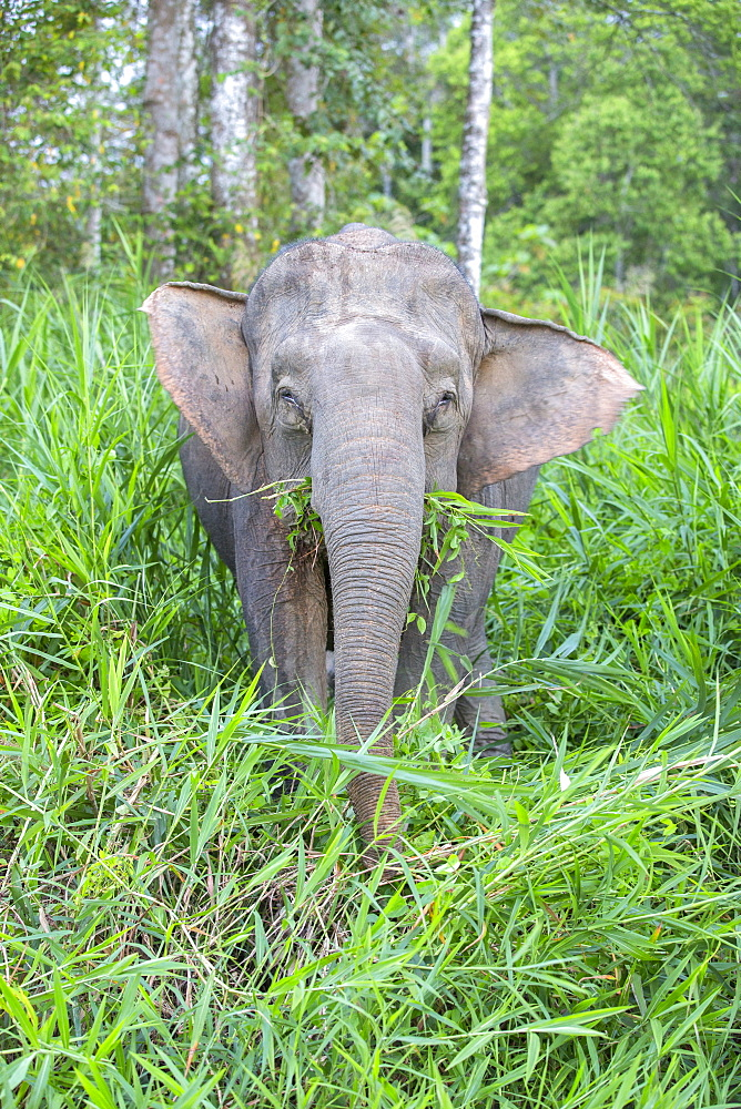 Borneo Pygmy Elephant in a clearing, Malaysia