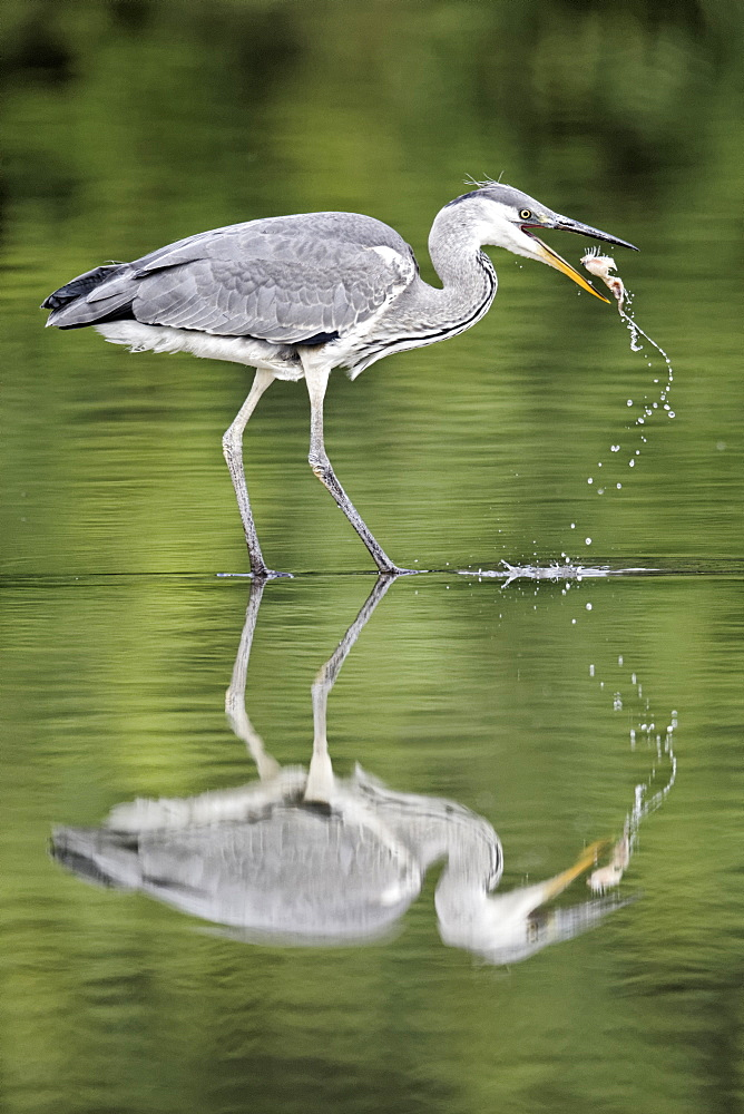 Grey heron juvenile fishing in water, Midlands UK