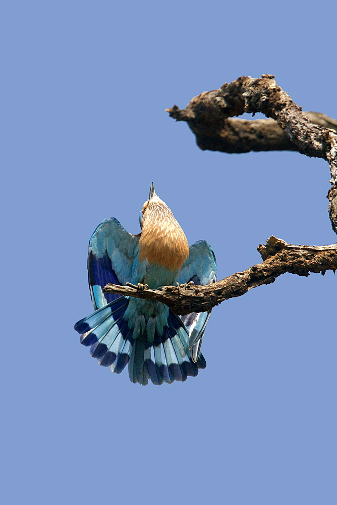 Indian Roller male displaying, Bandhavgarh India