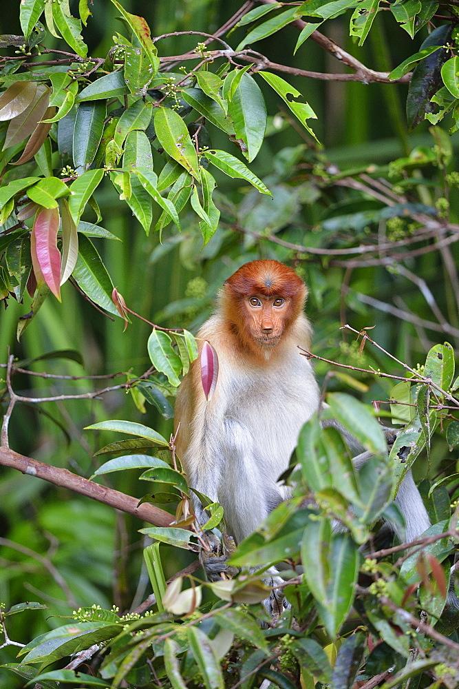 Proboscis monkey, Indonesia