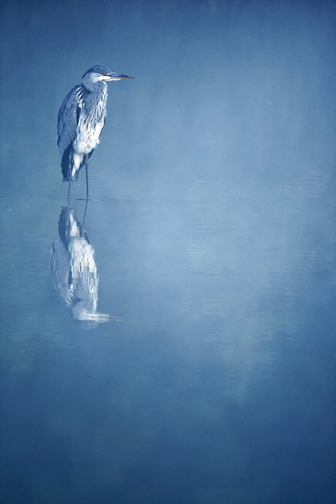 Grey Heron in water on misty morning, Midlands Britain UK