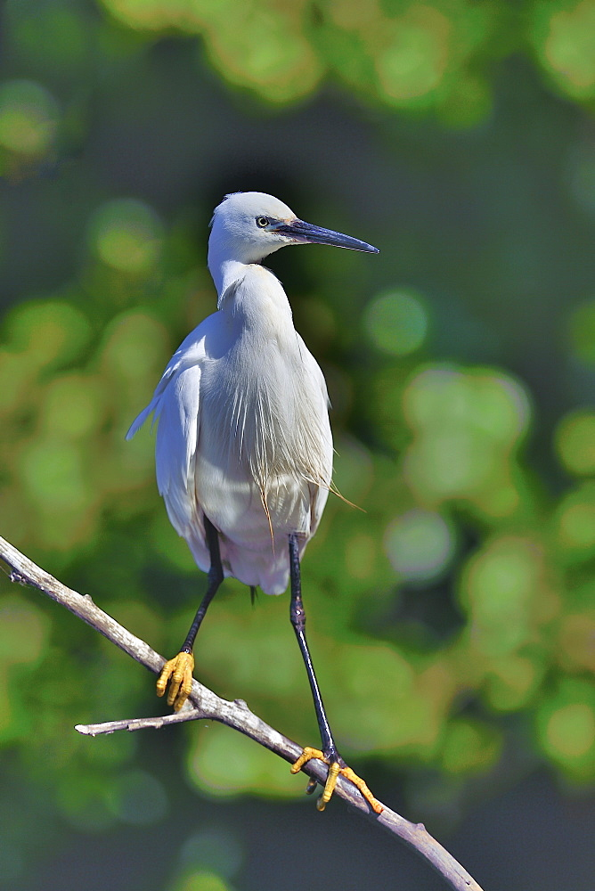 Little Egret on a branch, Dombes France