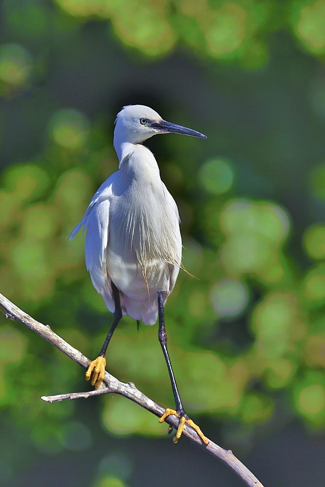 Little Egret on a branch, Dombes France