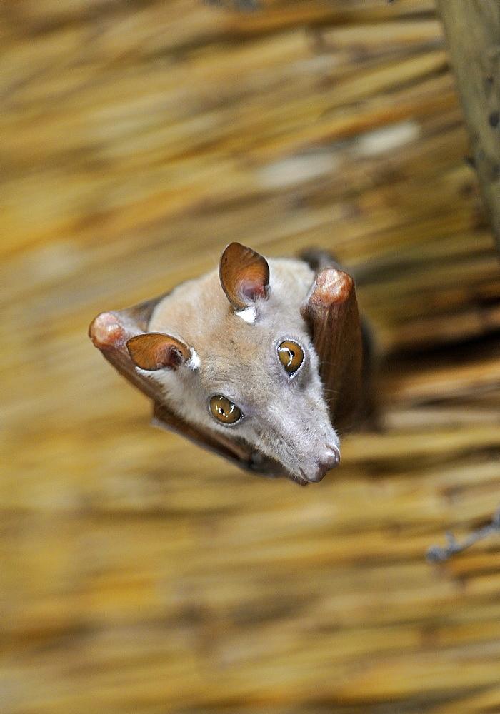 Portrait of Peters' epauletted fruit bat