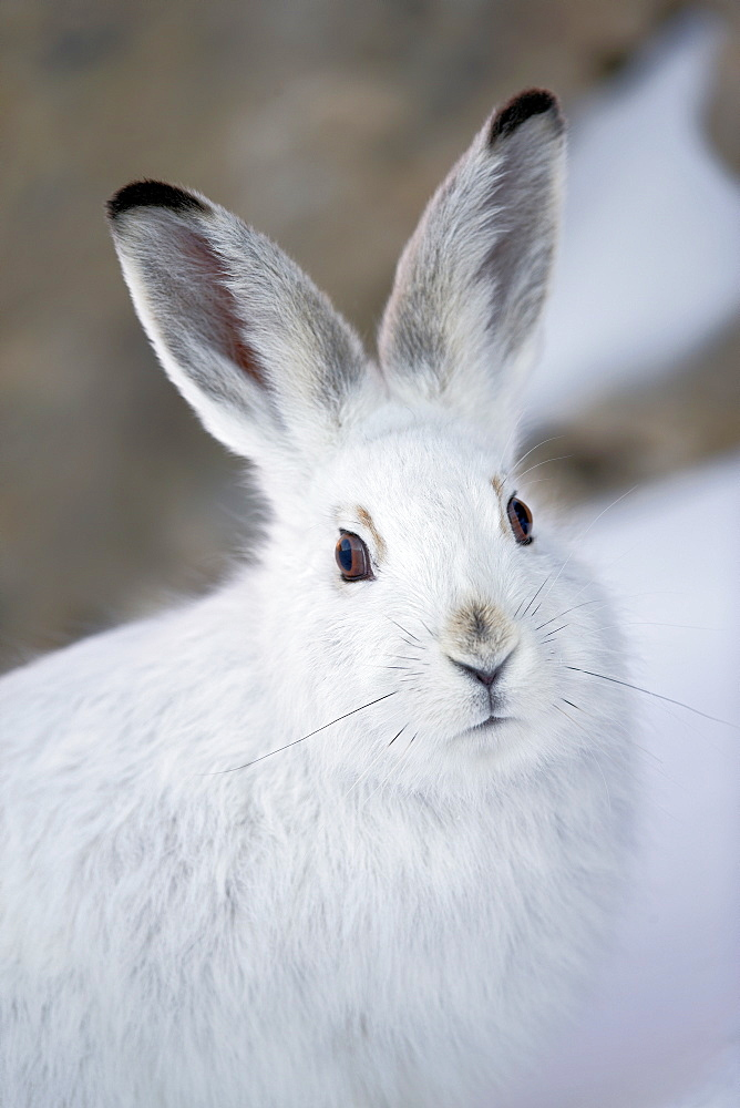 Portrait of Mountain Hare winter liveried, Swiss Alps