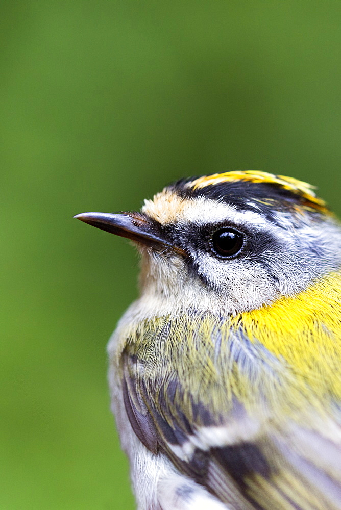 Banding Firecrest captured by net, France