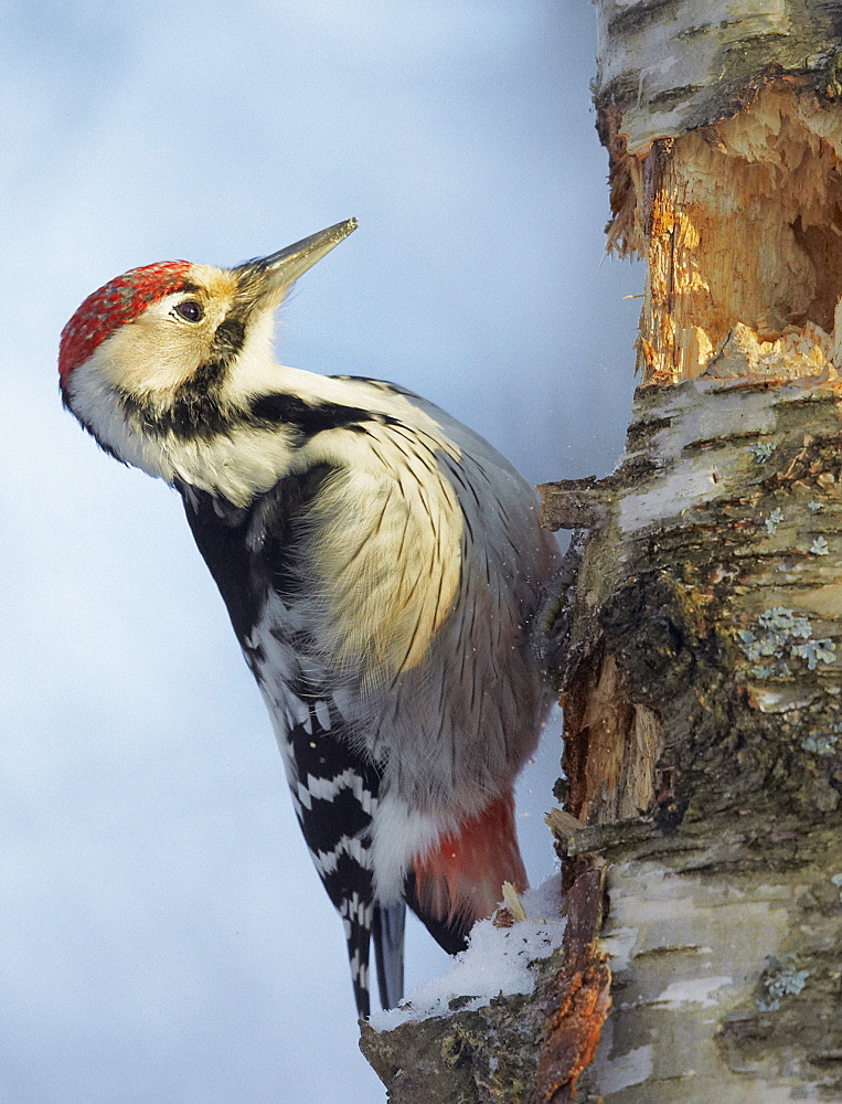Male White-backed Woodpecker on a tree trunk, Finland
