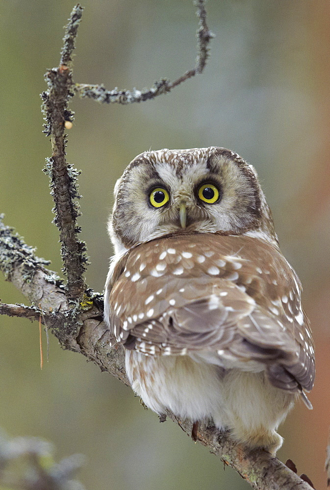 Tengmalm's owl on a tree branch, Finland