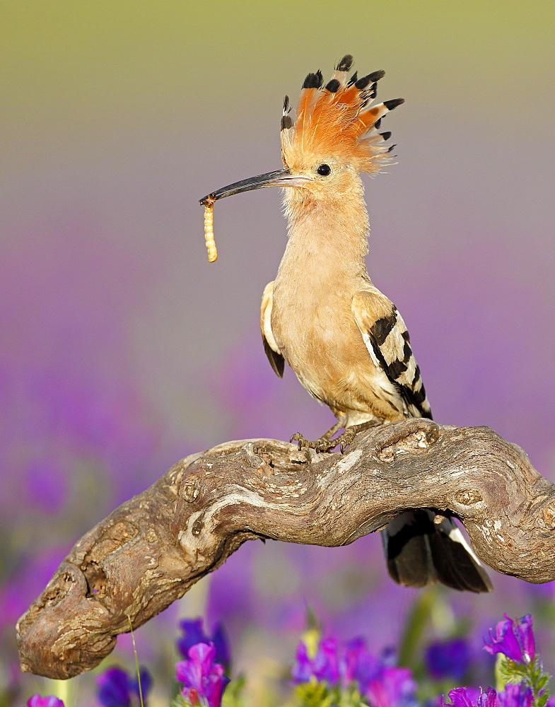 Eurasian Hoopoe with prey on a branch, Spain