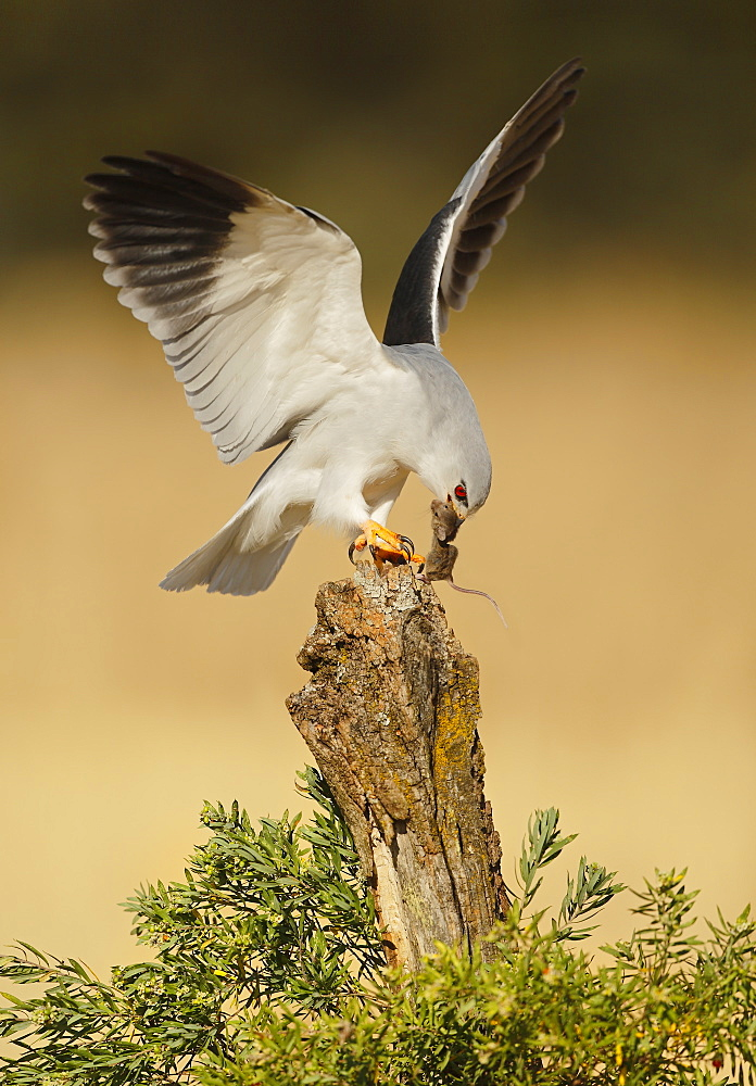Black-winged Kite and prey on stump, Spain