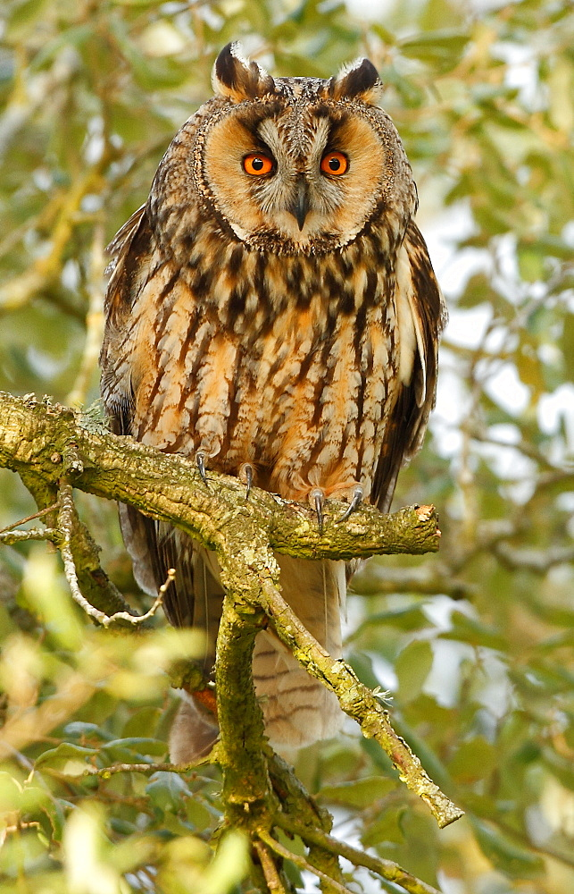 Long-eared Owl on a branch , Spain