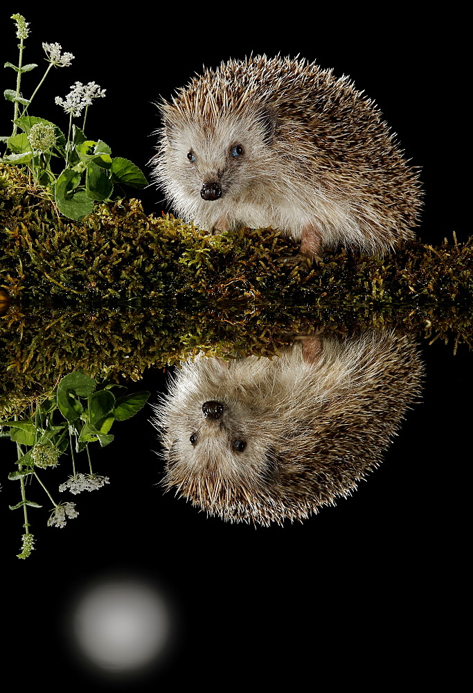 European hedgehog and its reflection in the moonlight, Spain