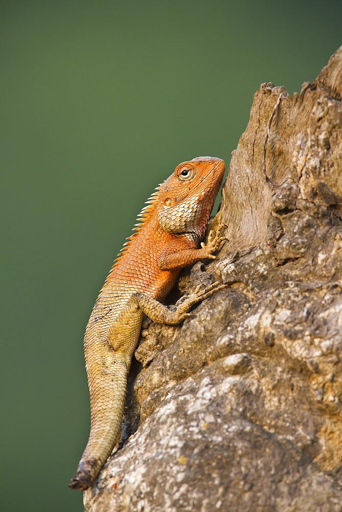 Oriental garden lizard with cut tail, Royal Bardia NP Nepal