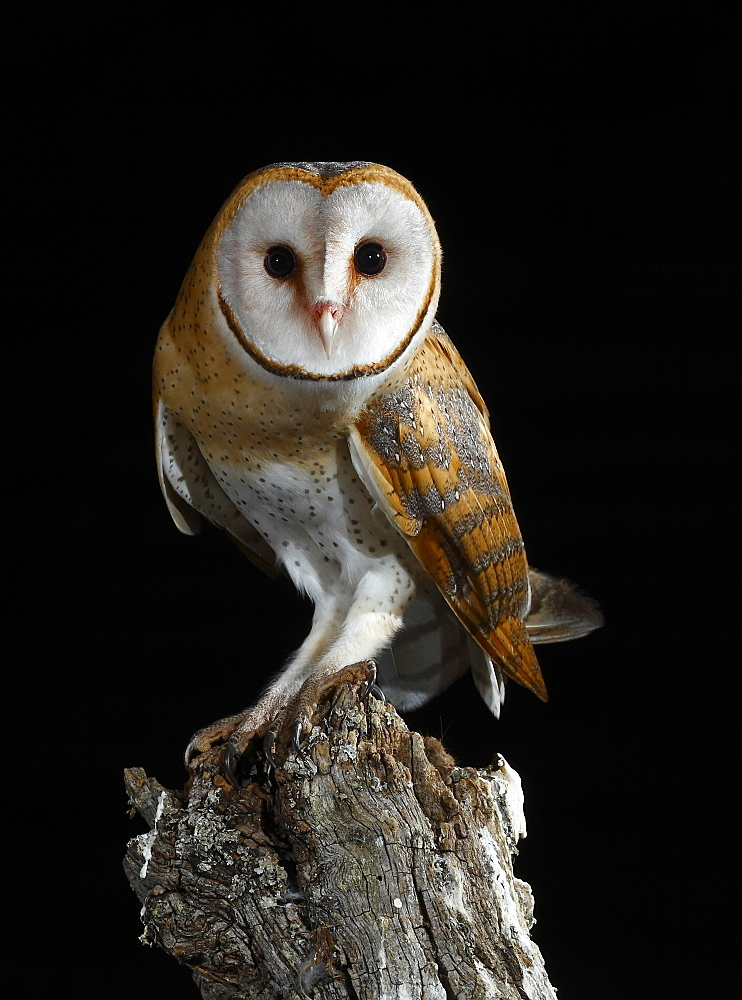 Barn owl coming toon a branch at night, Spain