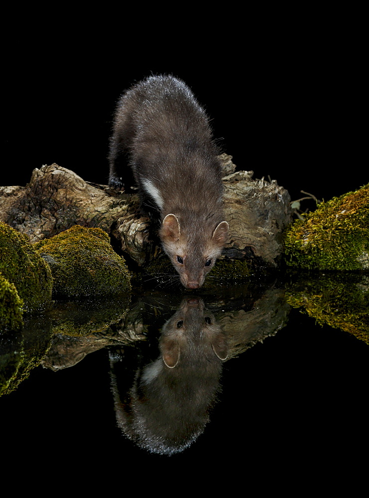 Beech Marten on bank at night and its reflection, Spain