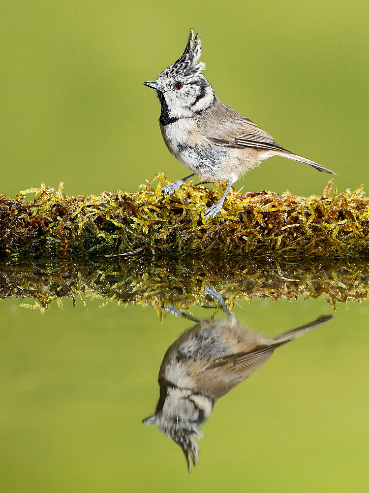 European Crested Tit on bank and its reflection, Spain