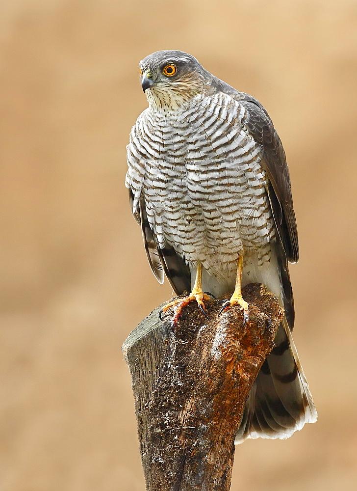 Eurasian Sparrowhawk female on a branch, Spain