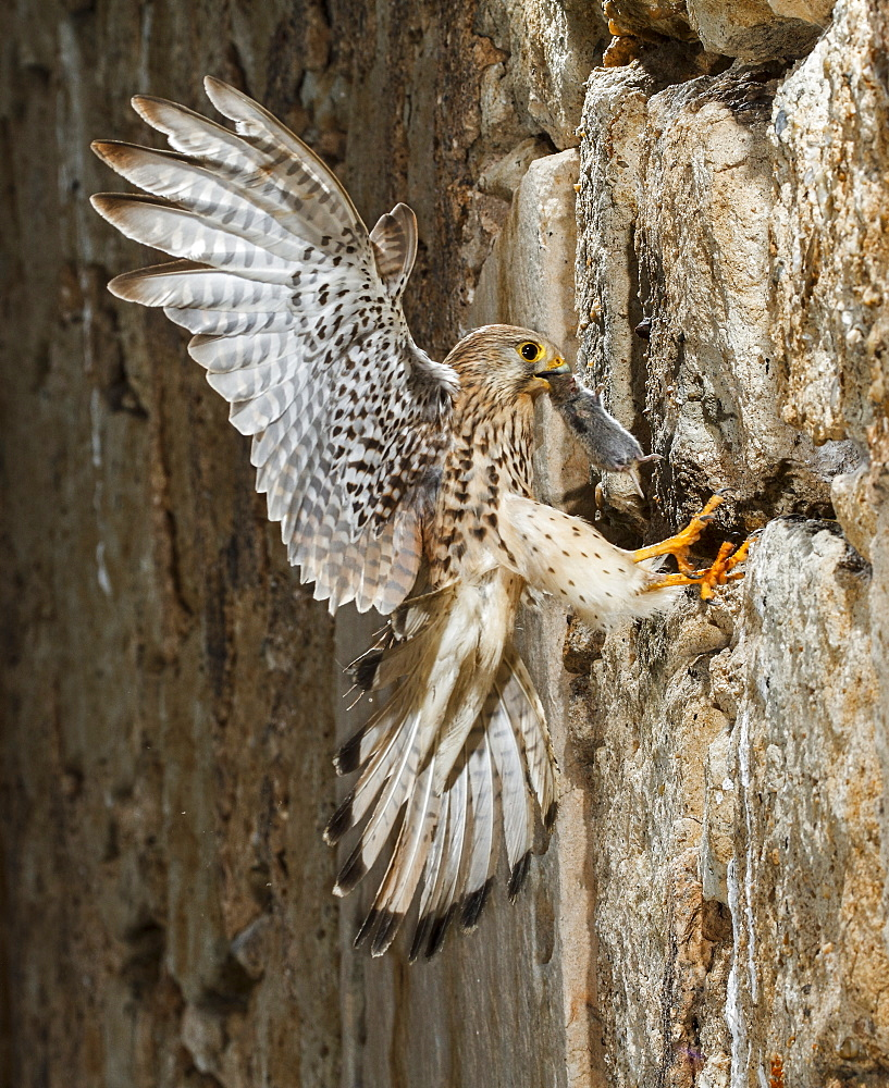 Common Kestrel  female flying with prey, Spain