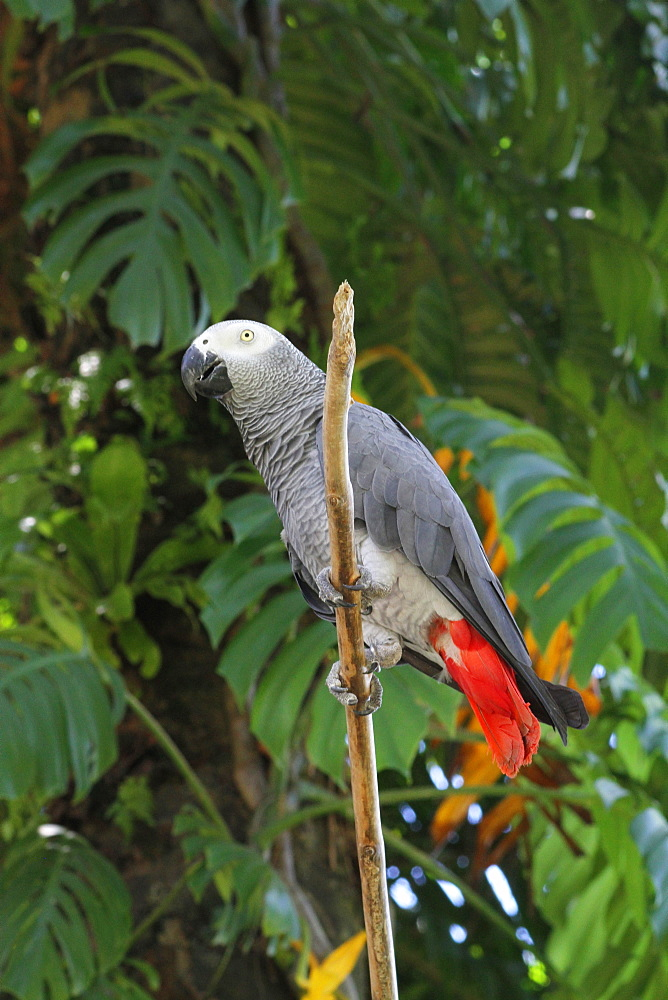 Grey parrot on a branch, Bali Indonesia