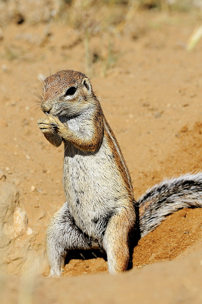 South African Ground Squirrel eating, Kalahari  Kgalagadi