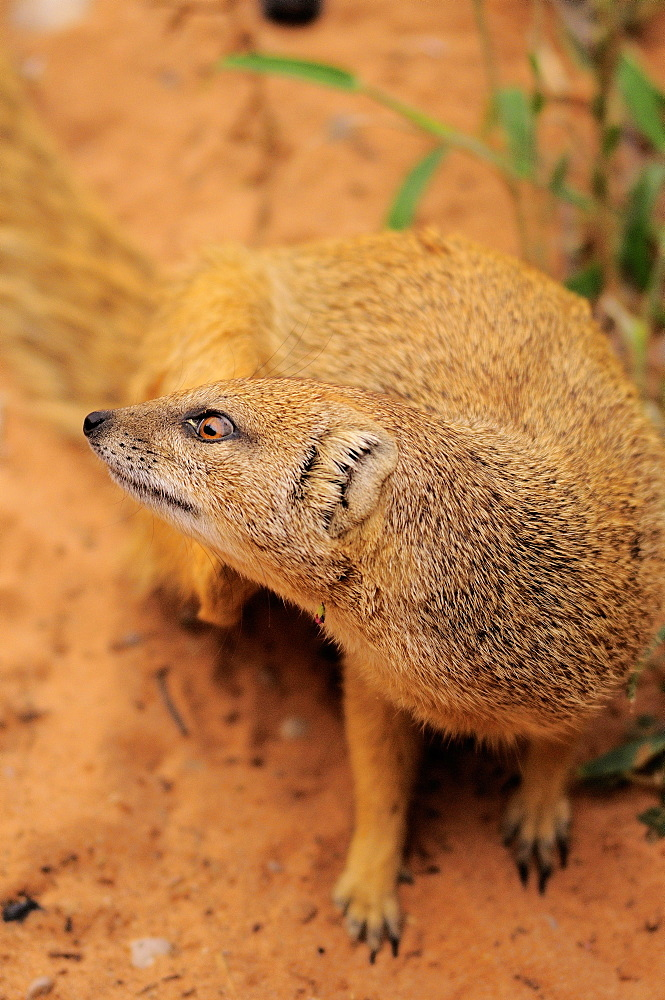 Yellow Mongoose in the sand, Kgalagadi Kalahari desert
