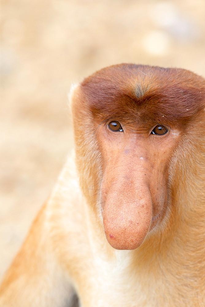 Proboscis Monkey male, Labuk Bay Sabah Borneo Malaysia
