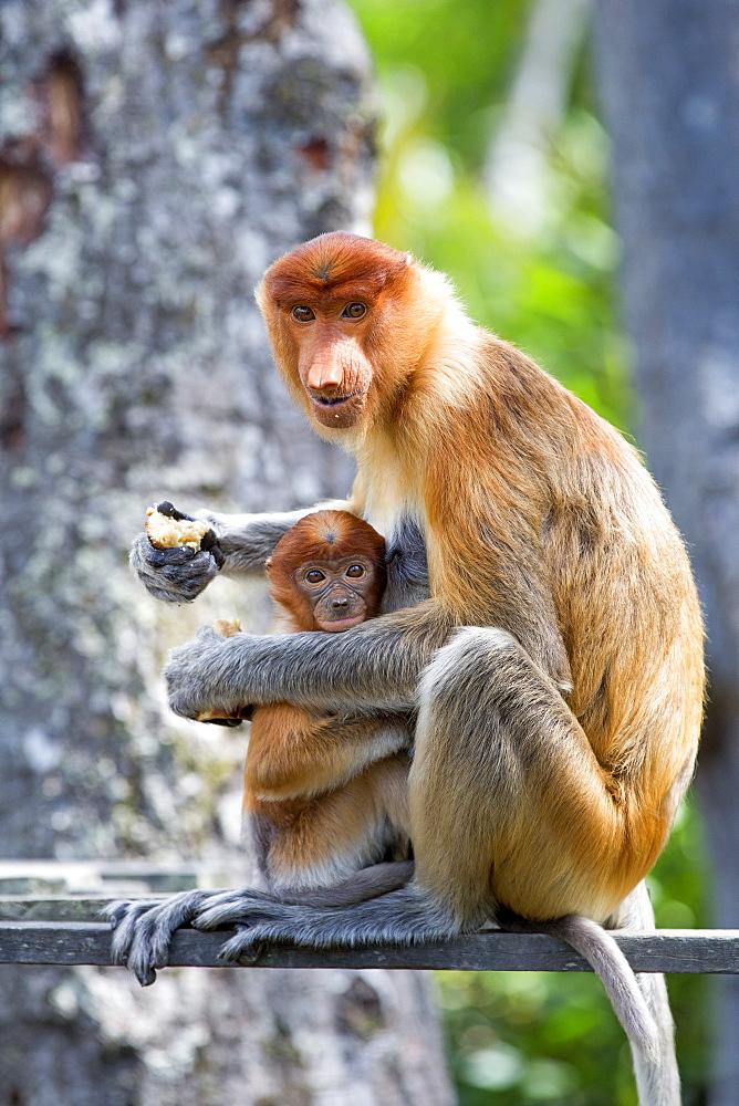 Proboscis Monkey eating, Labuk Bay Sabah Borneo Malaysia