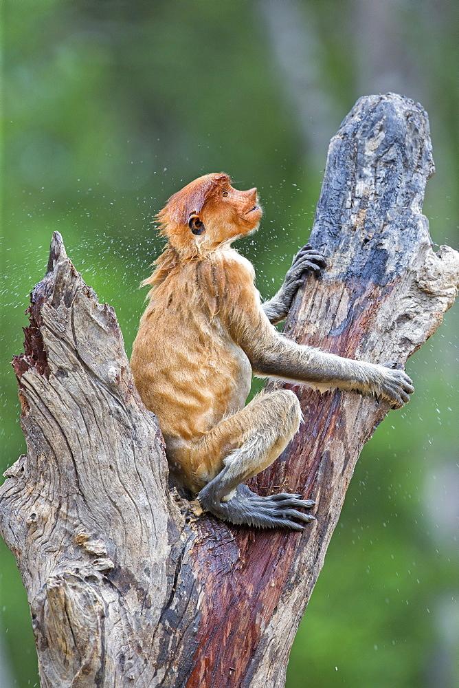 Proboscis Monkey wet, Labuk Bay Sabah Borneo Malaysia