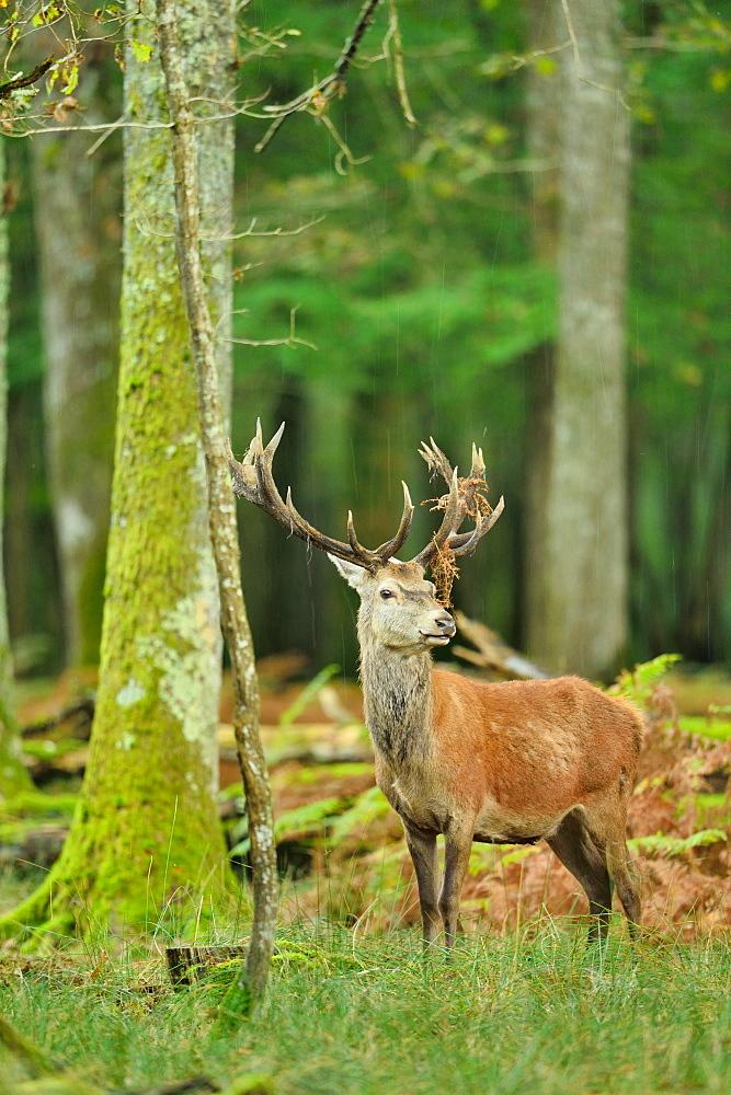 Red deer undergrowth, Boutissaint Burgundy France