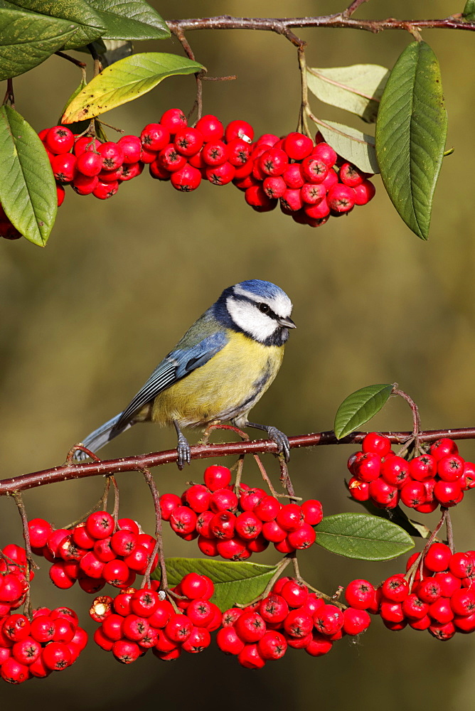 Blue tit on branch of red berries, Midlands UK