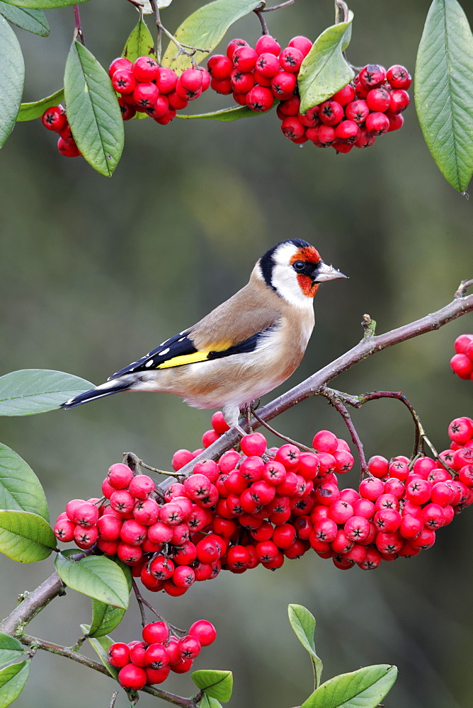 Goldfinch on branch of red berries, Midlands UK