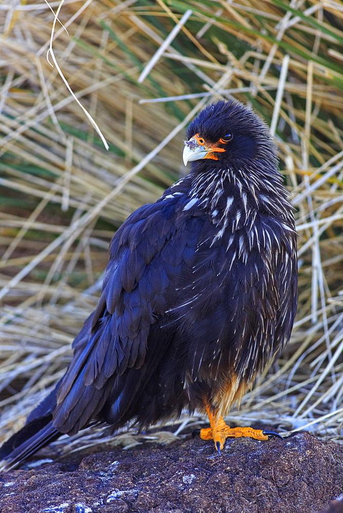 Striated Caracara on ground, Falkland Islands