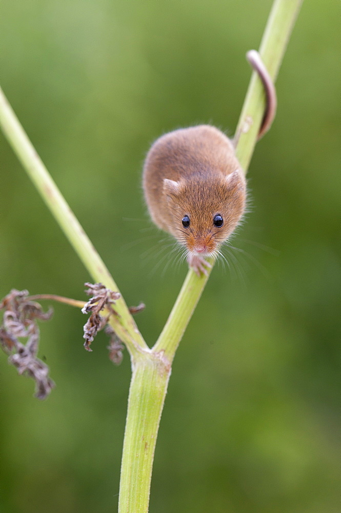 Harvest Mouse looking for food in summer, GB