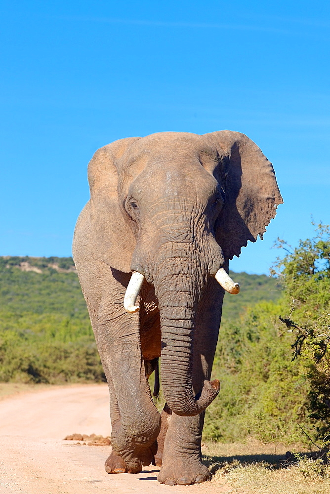 African Elephant walking, Addo Elephant NP South Africa