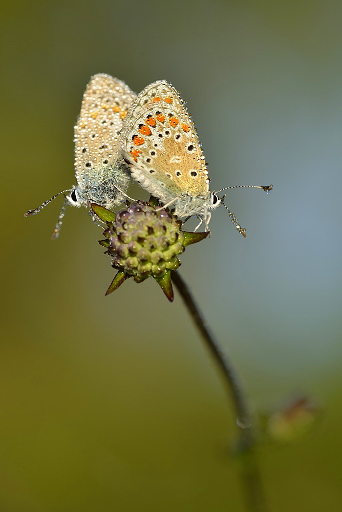 Adonis blue mating on a flower, Prairie Fouzon