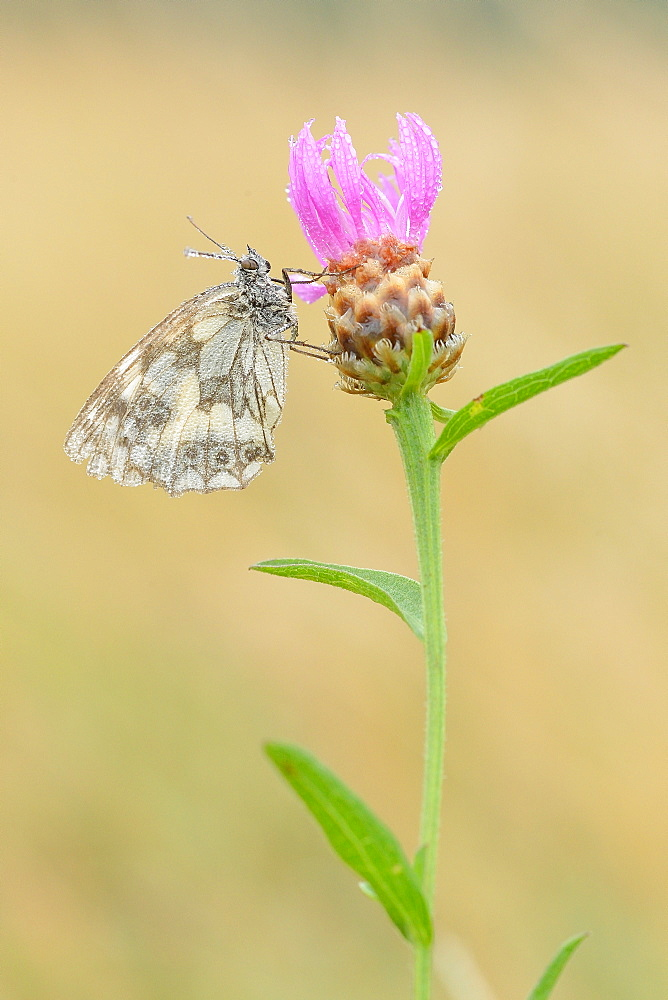 Marbled White on Thistle flower, Prairie Fouzon France