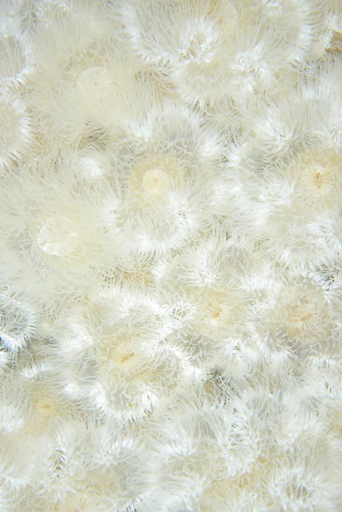 Plumose Anemones, Pacific Ocean Alaska USA