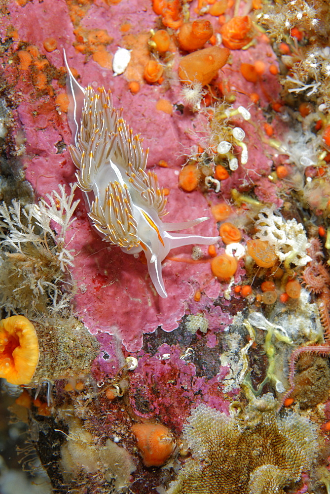 Opalescent Nudibranch on reef, Alaska Pacific Ocean