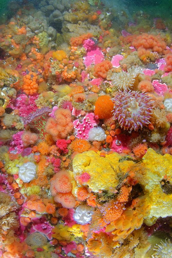 Sea anemone and sponges on the reef, Alaska Pacific Ocean