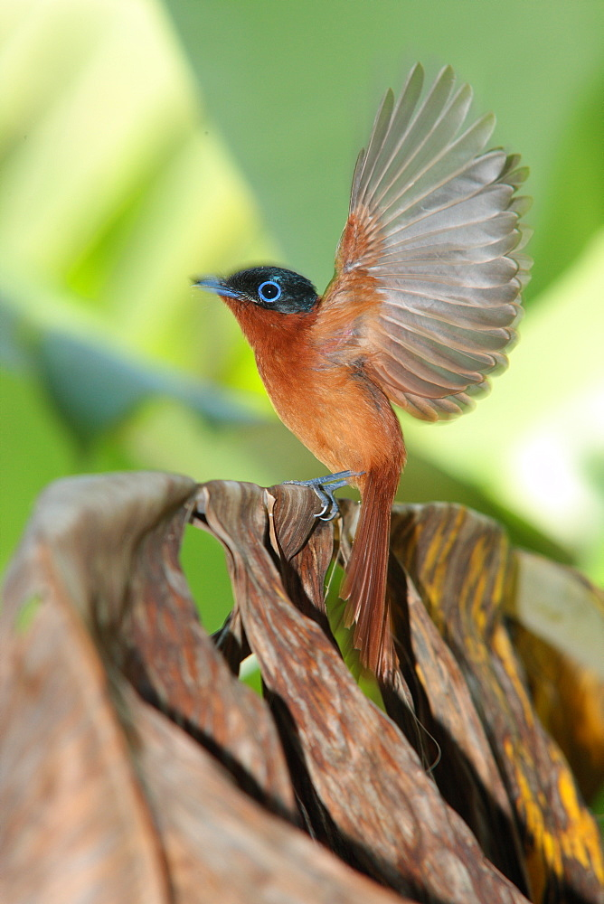 Madagascar Paradise Flycatcher flying wings, Mayotte