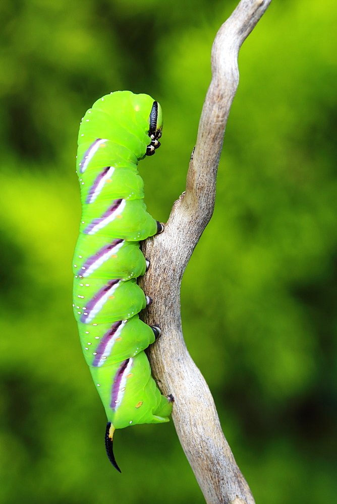 Privet Hawk Moth caterpillar on a branch, France
