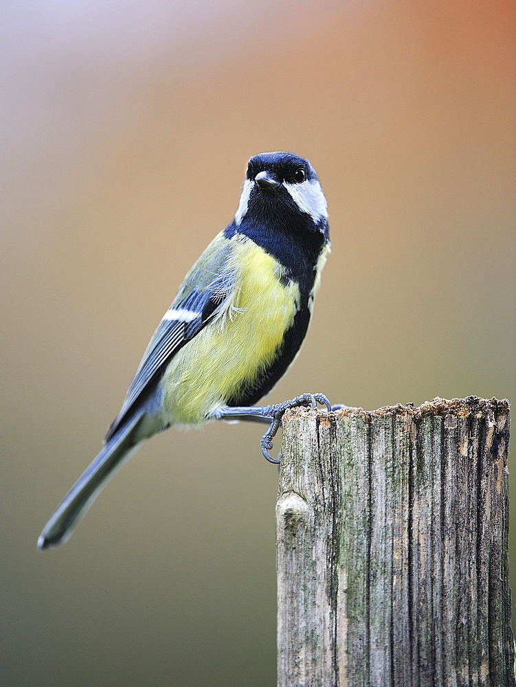 Great Tit on a wooden post, France