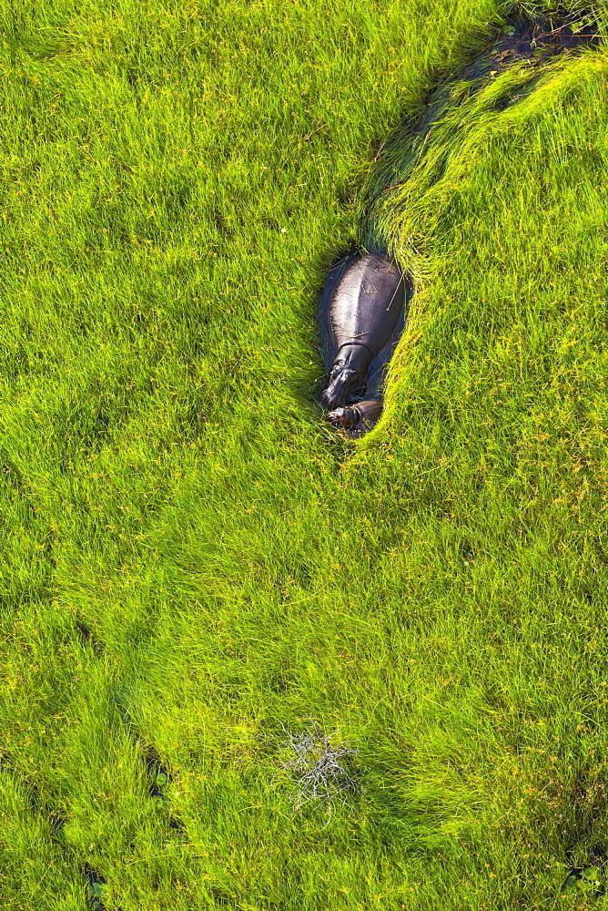 Hippo walking in the water, Okavango Delta Botswana