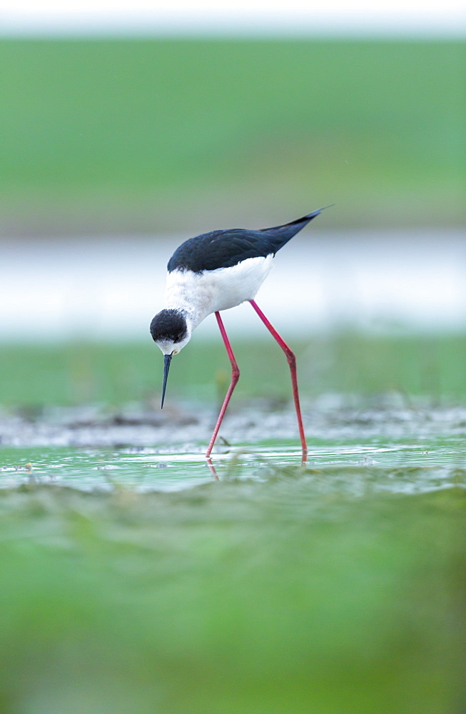 Black-winged Stilt feeding in water, Bulgaria