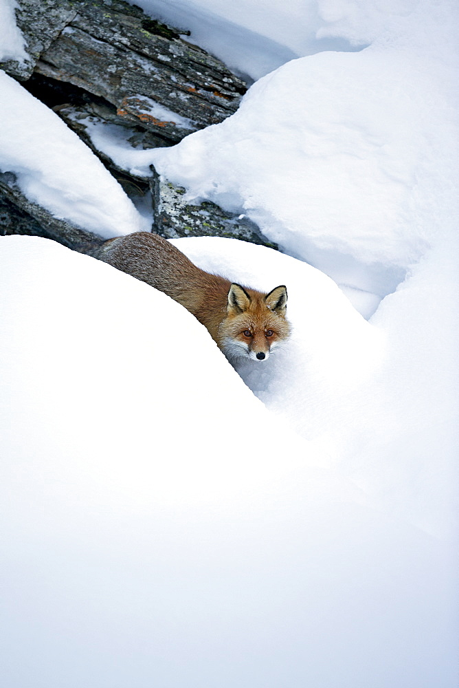 Red fox in the snow, Gran Paradiso Italy